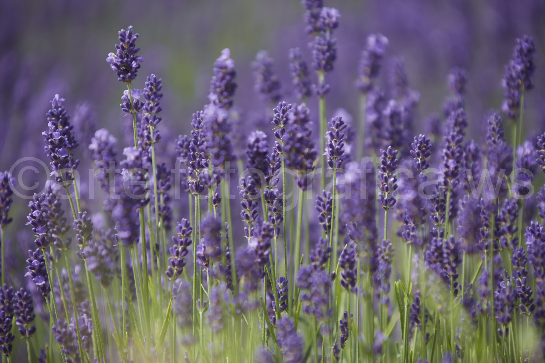 Lavendelwald