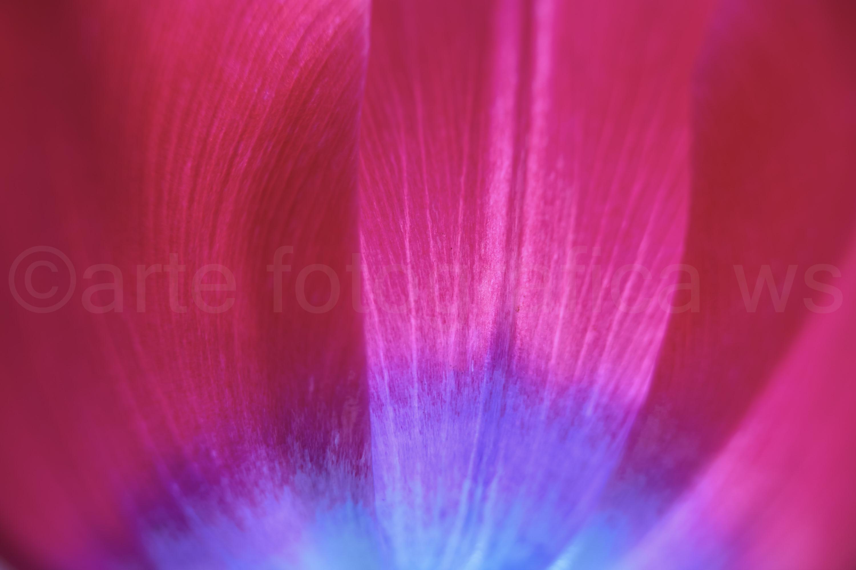 Tulpe-Rot-Blau
