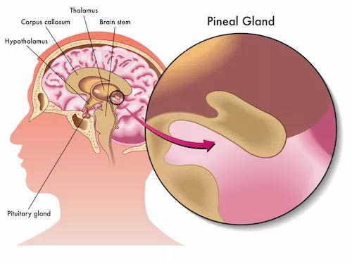 Qu'est-ce que la glande pinéale?