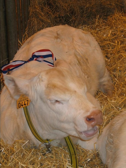 This little bull calf won first place for body conformation, nicely done little man!