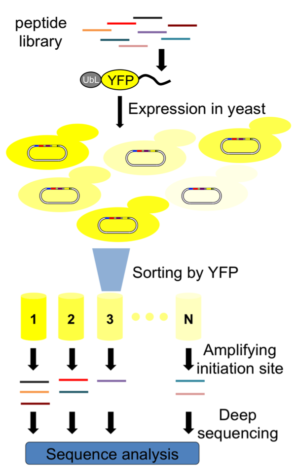 yeast yfp screen