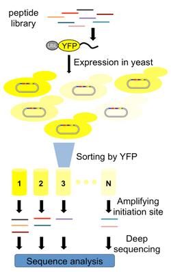 yeast yfp screen