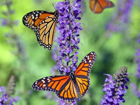 """Our Planet's Pollinators - Can They """"Bee"""" Restored?"""