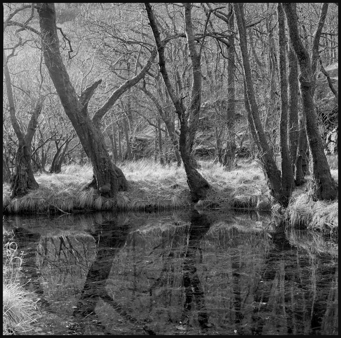 Derwent water tree's
