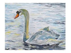 Summer Evening Swan