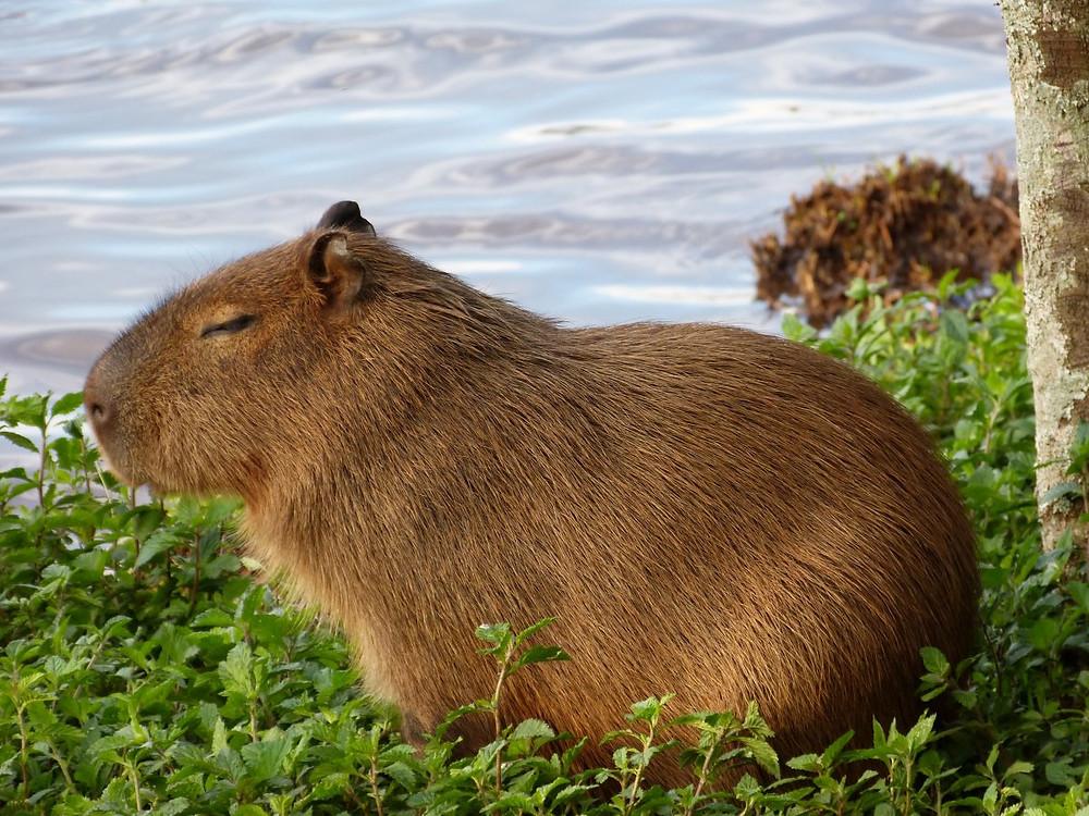 Kapibaralar