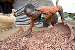 Côte d'Ivoire / Economie : l'essor du cacao biologique dans le pays