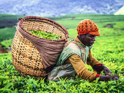 Burundi : 21 millions de dollars de la Bad pour soutenir l'agriculture et l'élevage