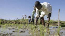 Le Nigéria envisage l'exportation de riz d'ici 2022