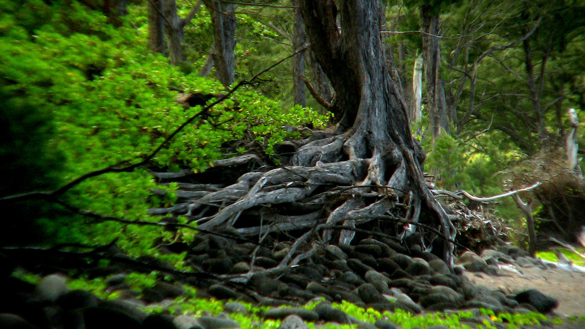 Magical Root 2.JPG