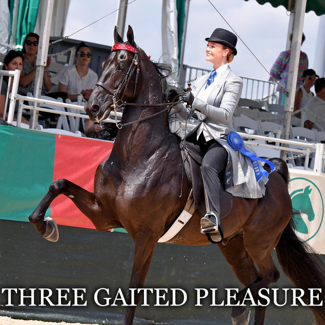 saddlebred three gaited pleasure