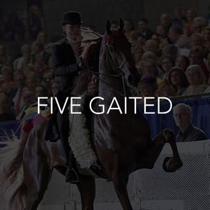 five gaited saddlebred