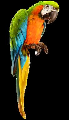 parrot_bird_on_a_transparent_background_