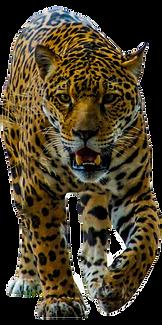 105-1058213_jaguar-walking-png-image-leo