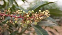 入江農園のマンゴーの花がさきましたよ♪