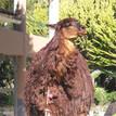 Longhaired Alpaca