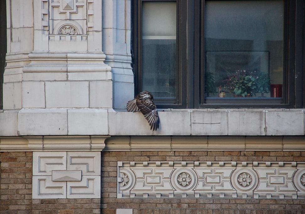 Hawk on Ledge.png