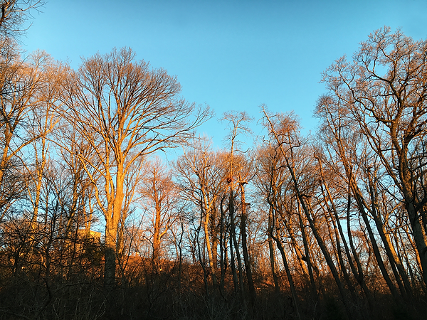SUNRISE Trees Inwood Hill Park.png