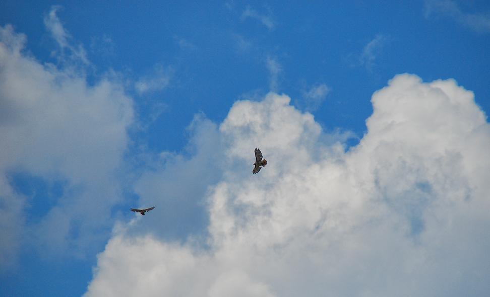 Hawk in Flight Cloudscape.png