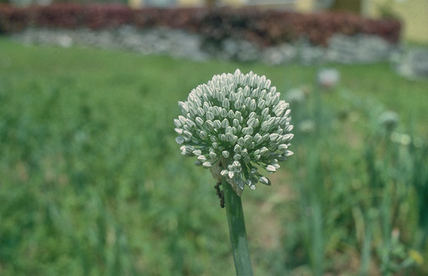 Tiny White Blub Bermuda Plant.png