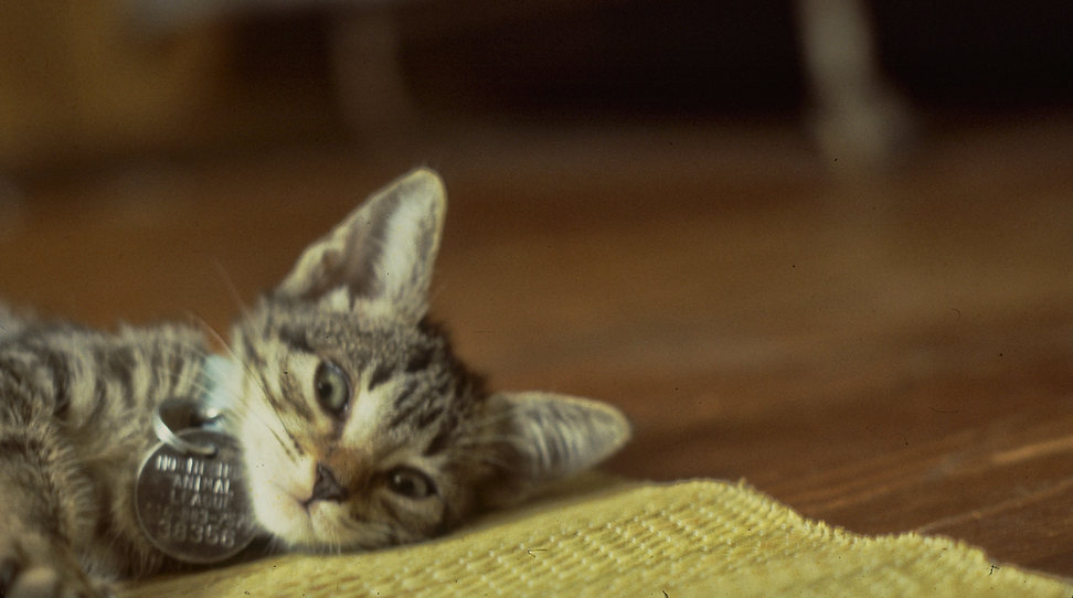 Chip Tabby KITTEN with Tag.png