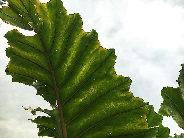 Leaf Plant Botanical Gardens.png
