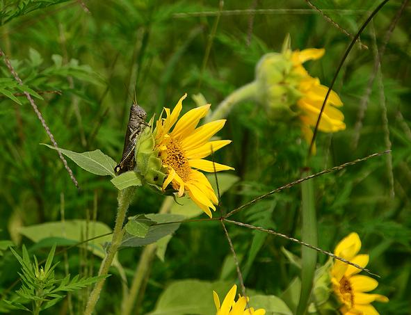 Grasshopper wSunflower.png