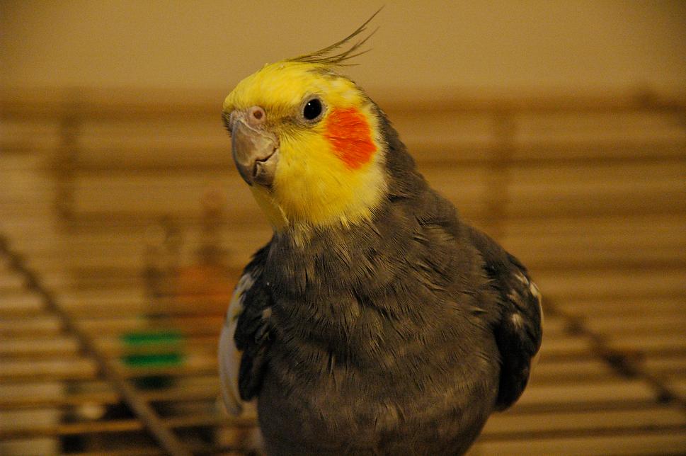 Cocktoo BIRD.png