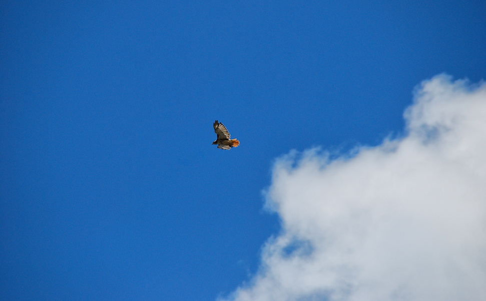 Hawk in Flight Cloudscape.v2.png