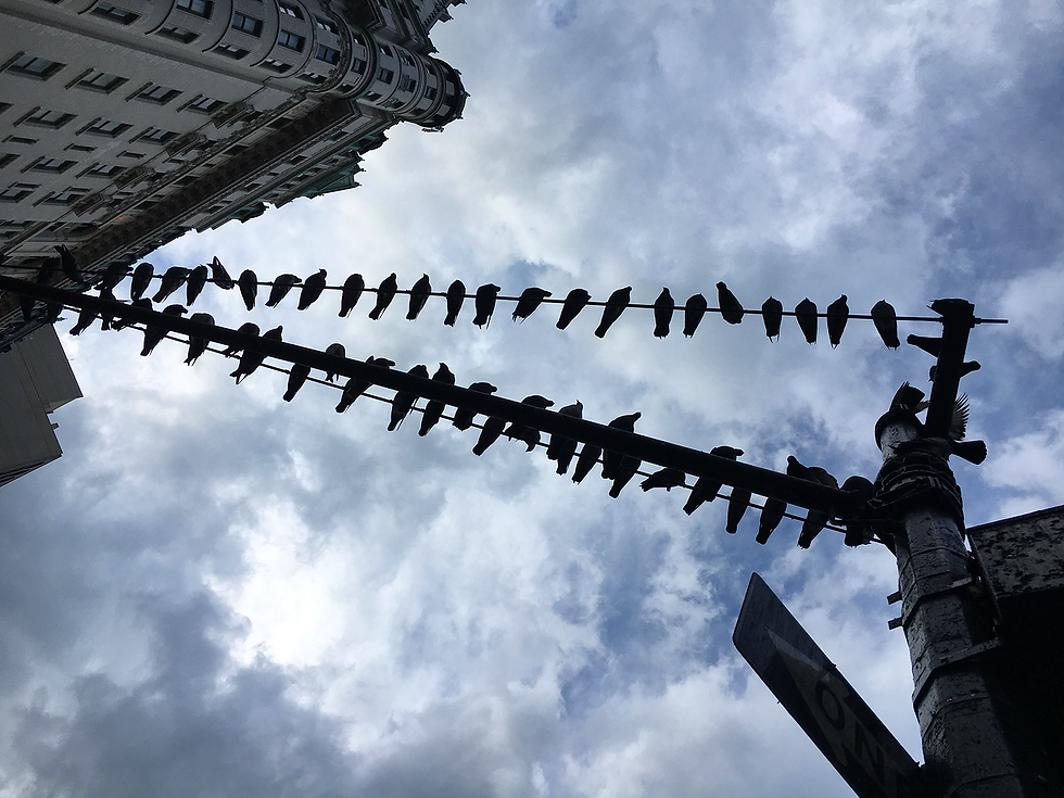 Pigeons Fifth Avenue.png