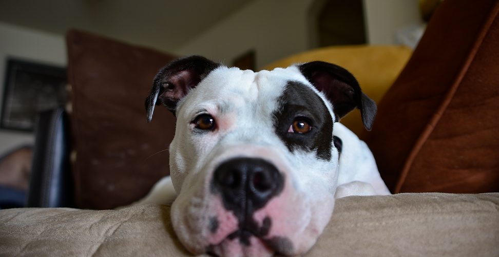 Hamilton PitBull DOG.png