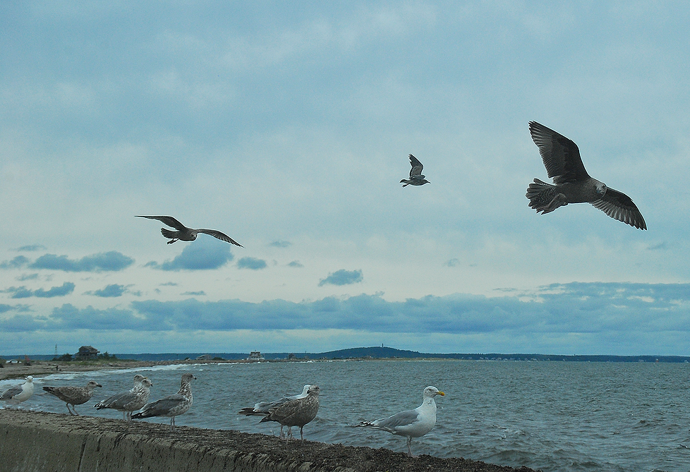 Seagulls PLYMOUTH Mass.png