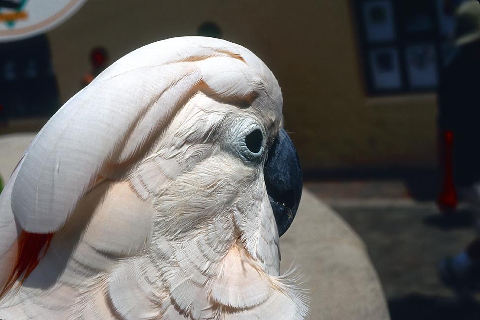 ParrotBermuda.png