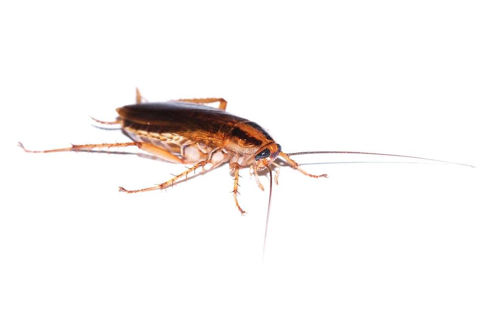 German Cockroach (Blatella germanica L.)