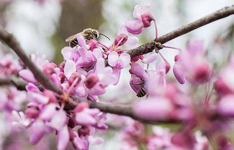 Quinn bees and redbud flowers.jpg