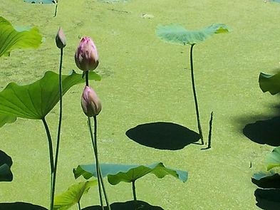 Lotus blossoms in June.JPG