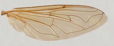 60.109 Mesembrius sp. - male.jpg