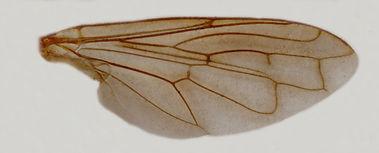 60.84 Archimicrodon - male.jpg