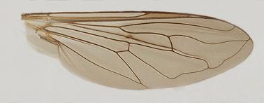60.133 Tropidia sp. - male.jpg