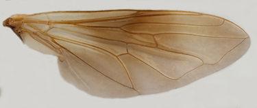60.114 Myolepta sp. - female.jpg