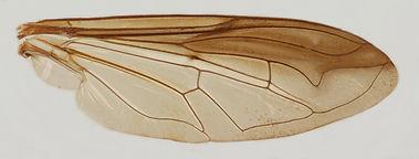 60.108 Meromacroides meromacriformis Bezzi - female.jpg