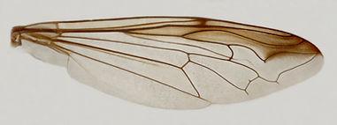 60.121 Polybiomyia sp. - female.jpg
