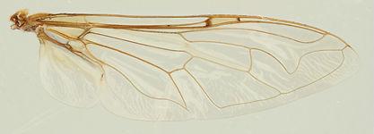 60.94 Eristalinus (Eristalinus) sp. - female.jpg