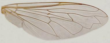 60.97 Eumerus sp. - female.jpg