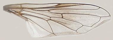 60.91 Chrysogaster hirtella Loew - male.jpg