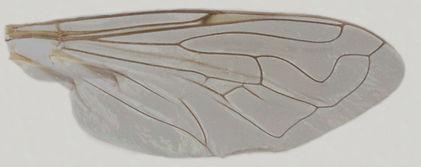 60.95 Eristalinus (Helophilina)smaragdinus (Macquart)-male.jpg