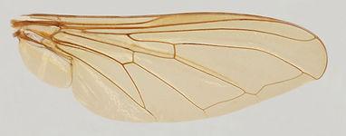 60.124 Rhingia sp. - male.jpg