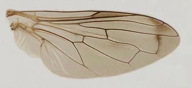 60.116 Orthonevra sp. - male.jpg