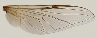 60.79 Afrosyrphus varipes Curran -male.jpg