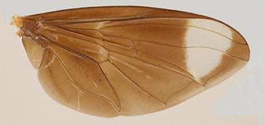 60.80 Allobaccha sp. - male.jpg